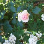 薔薇の季節。