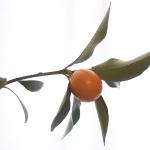 金柑の鉢植え。